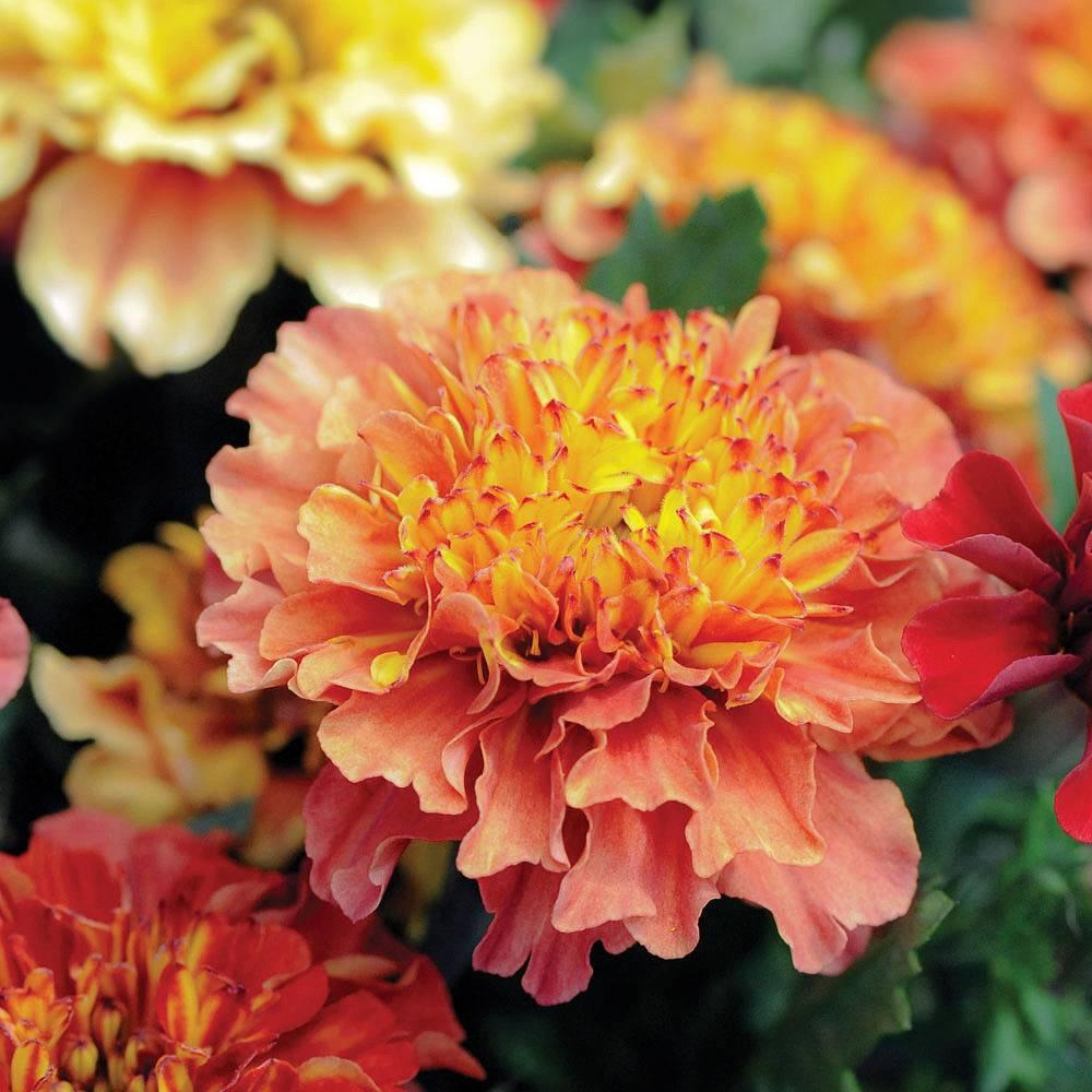 Marigold Strawberry Blonde Plug Plants Thompson Morgan