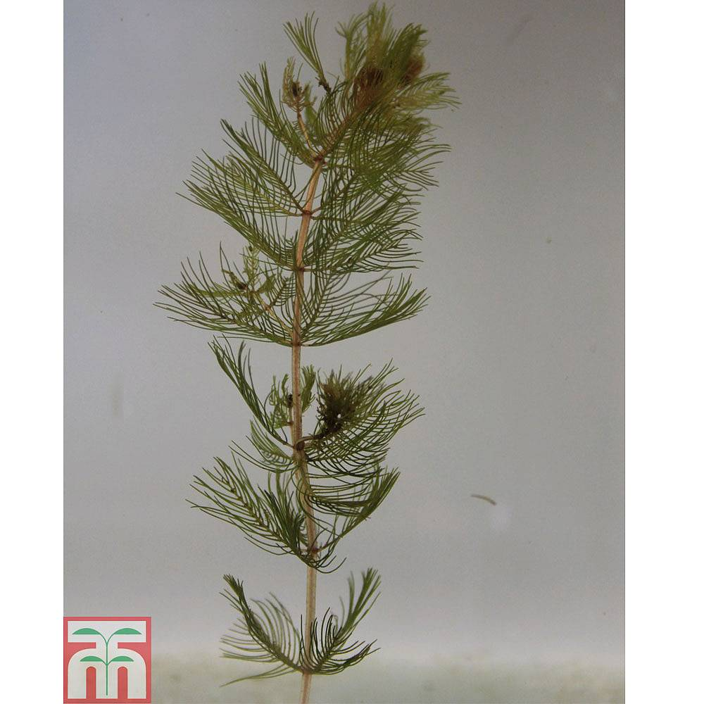 Myriophyllum spicatum oxygenating aquatic thompson for Oxygenating plants for garden ponds