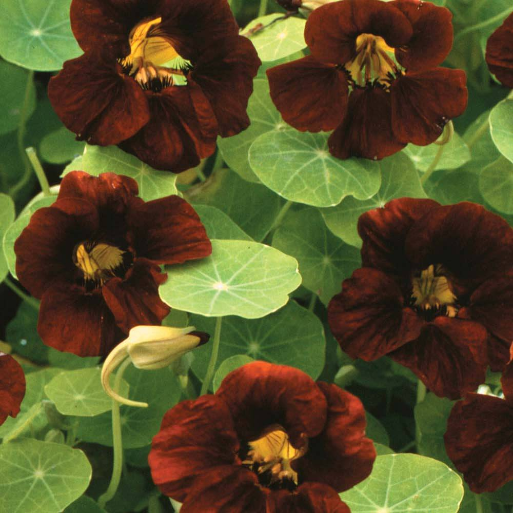 nasturtium 39 black velvet 39 seeds thompson morgan. Black Bedroom Furniture Sets. Home Design Ideas