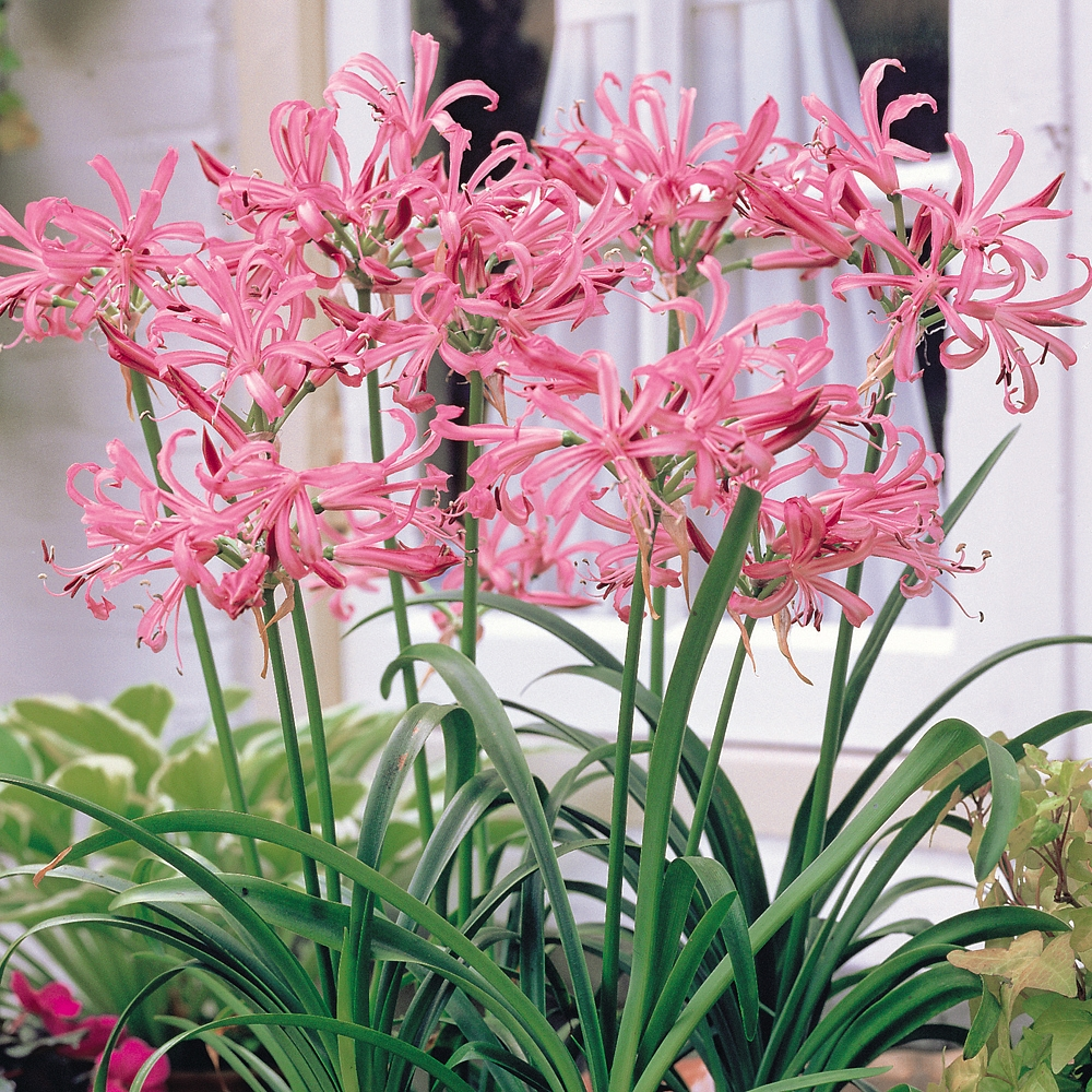 Other Flower Bulbs Tubers Thompson Morgan
