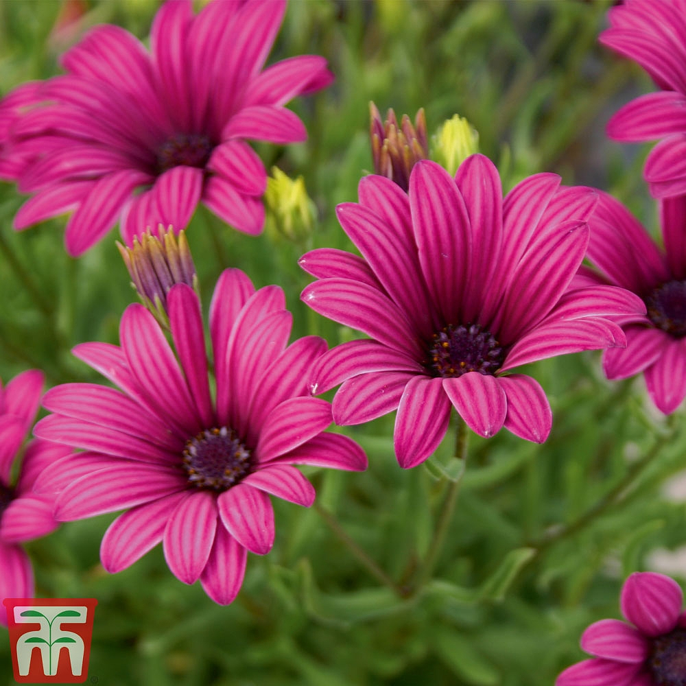 Osteospermum Collection Hardy Plug Plants Thompson Morgan