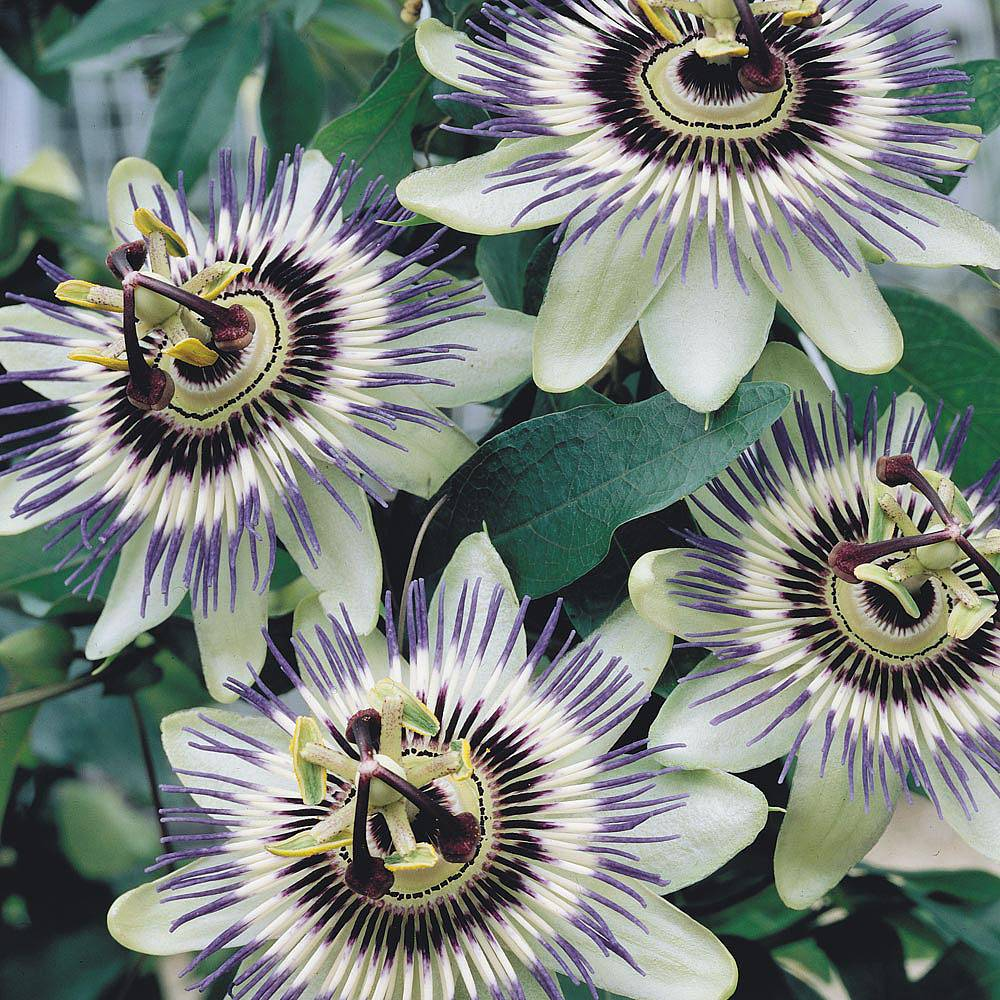 passiflora caerulea plants thompson morgan. Black Bedroom Furniture Sets. Home Design Ideas