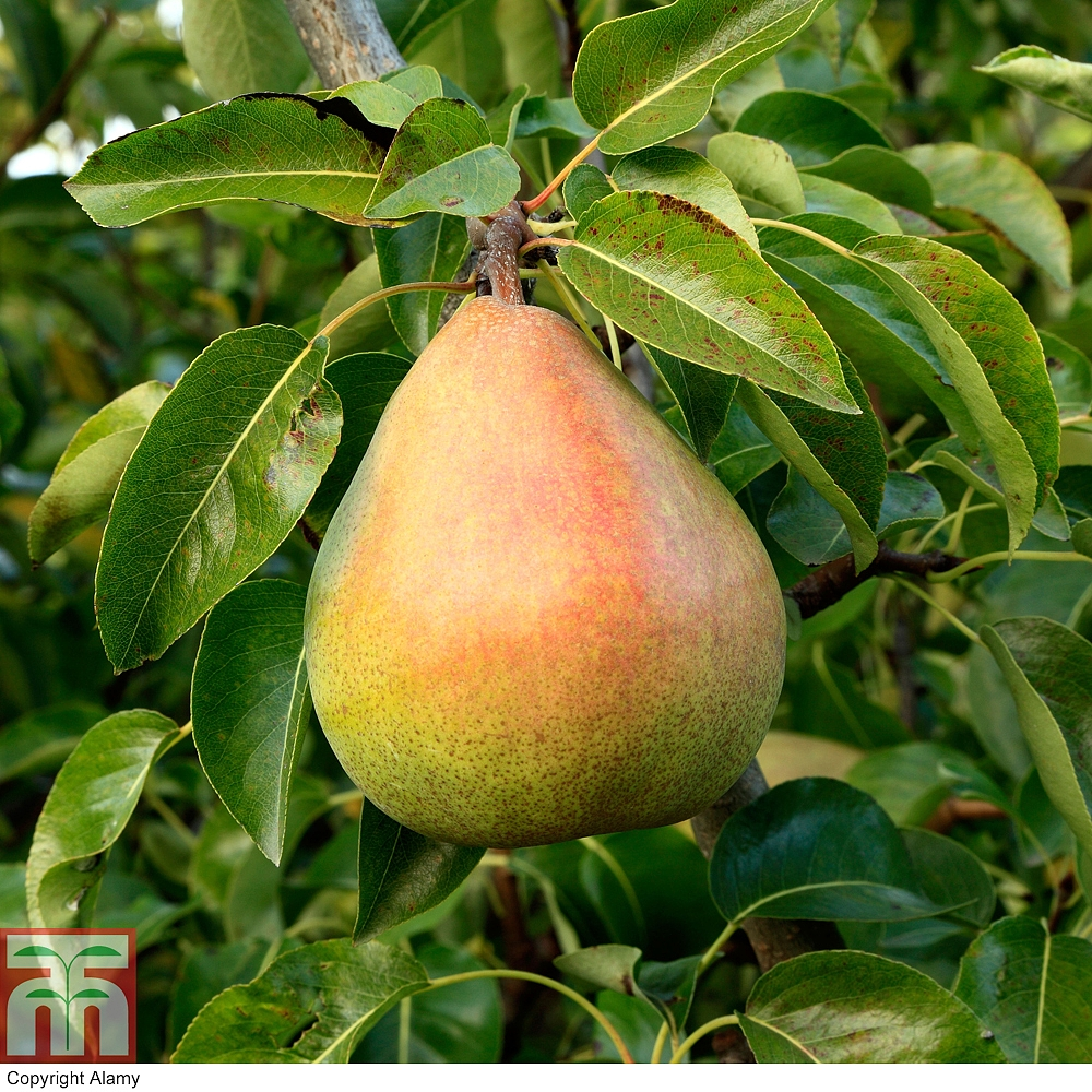 Pictures Of Pear Fruit