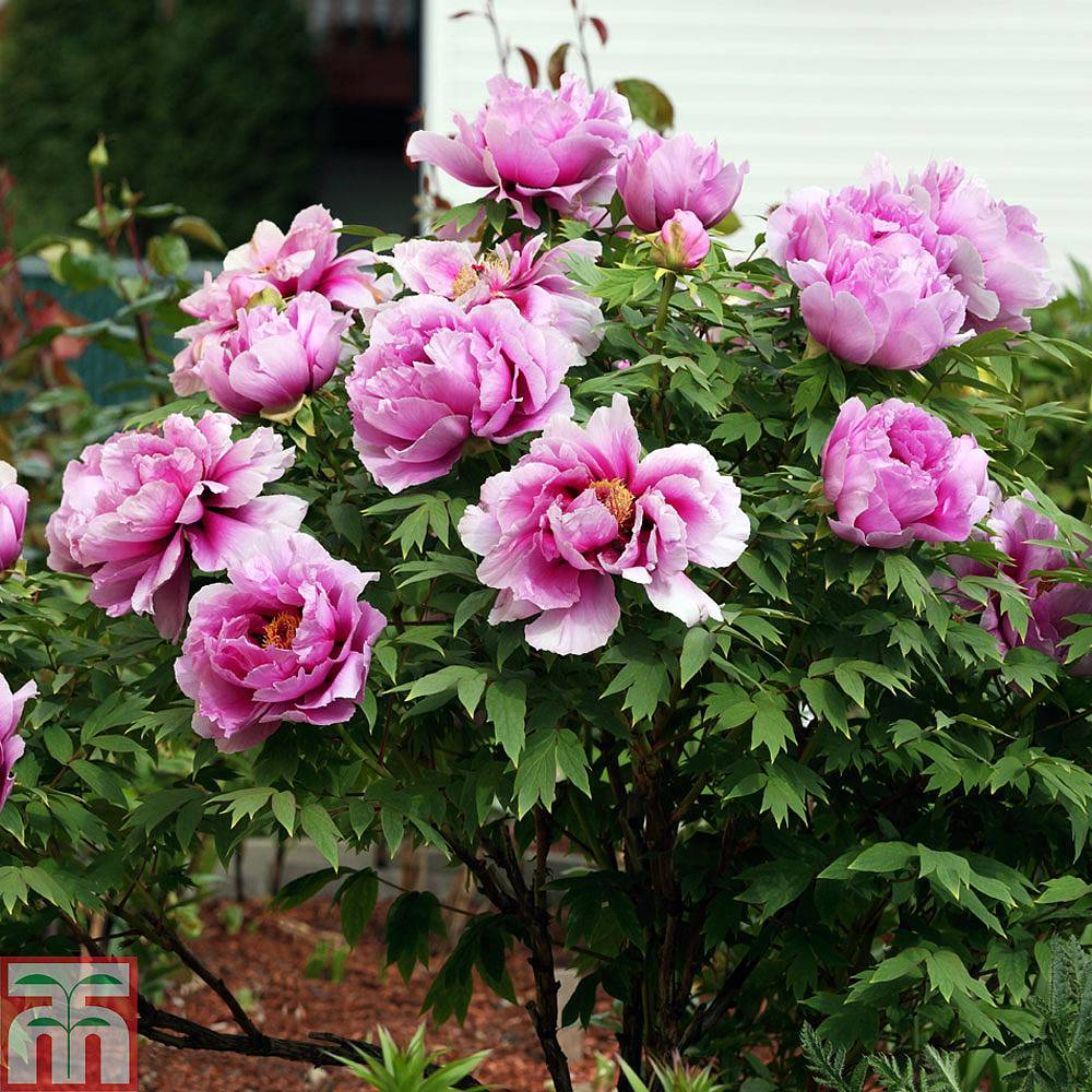 Tree Peony \u0027Hu Hong\u0027 (Hu\u0027s Red) | Thompson \u0026 Morgan
