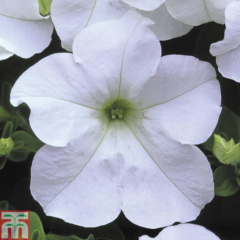 Petunia Trailing Surfinia White Plug Plants Thompson Morgan