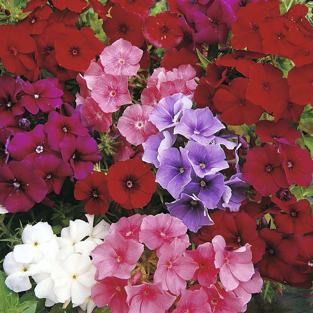 phlox drummondii 39 dwarf beauty mixed 39 seeds thompson morgan. Black Bedroom Furniture Sets. Home Design Ideas
