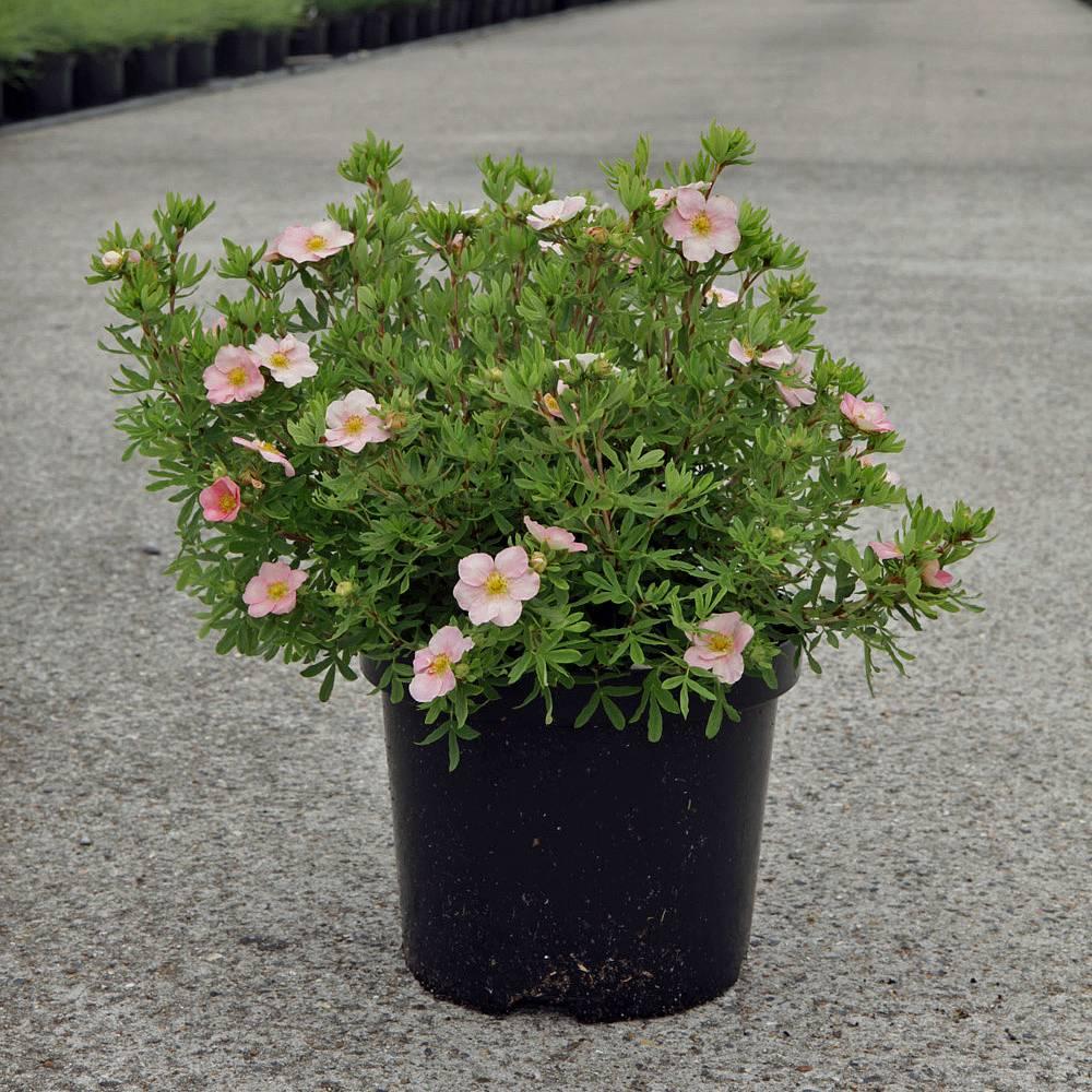 Potentilla fruticosa Pink Beauty plants Thompson Morgan