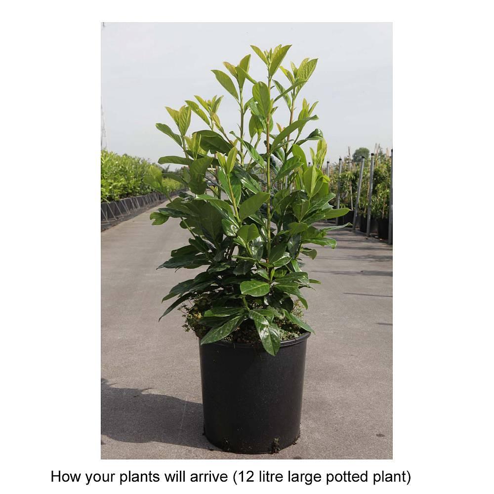 prunus laurocerasus 39 novita 39 plants thompson morgan. Black Bedroom Furniture Sets. Home Design Ideas
