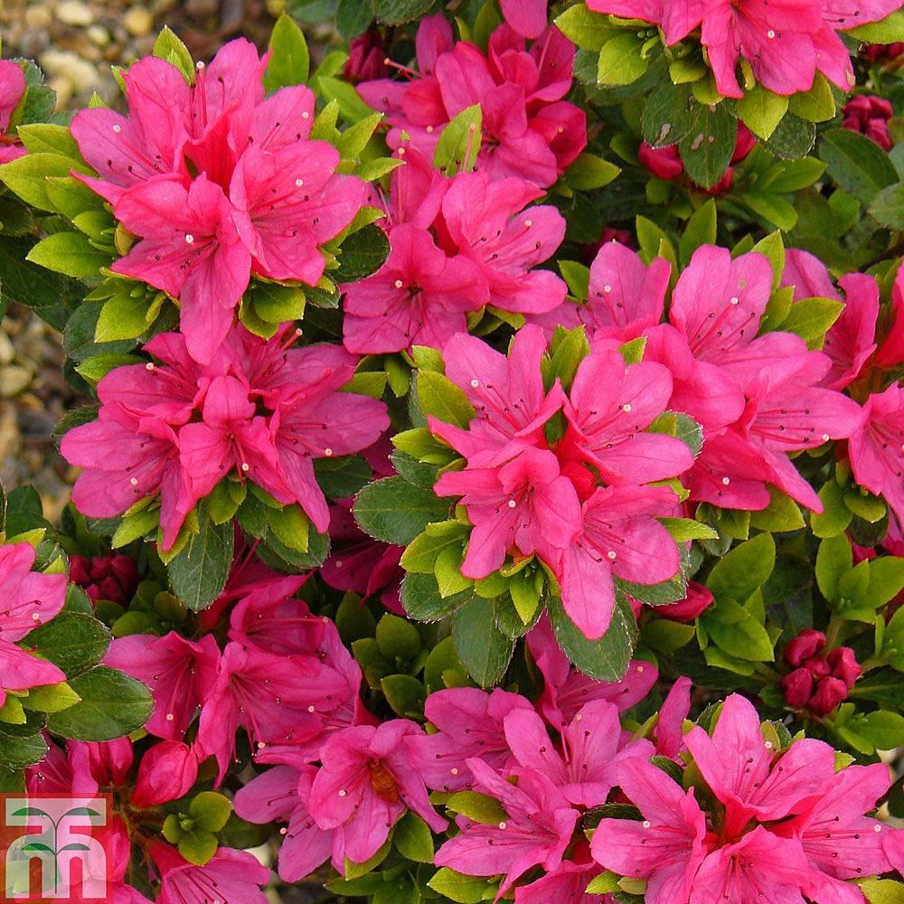 Rhododendron Geisha Pink Azalea Group Thompson Morgan
