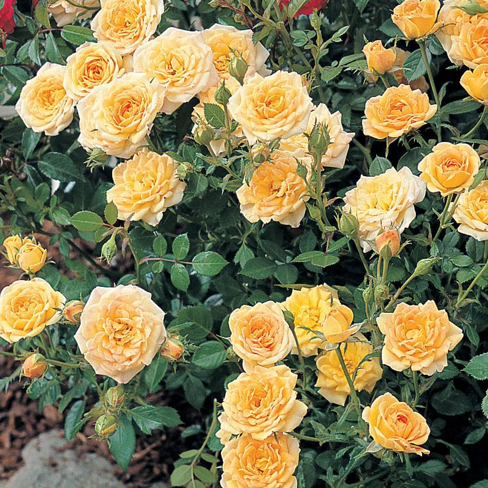 Rose Yellow Fairy Shrub Rose Plants Thompson Morgan