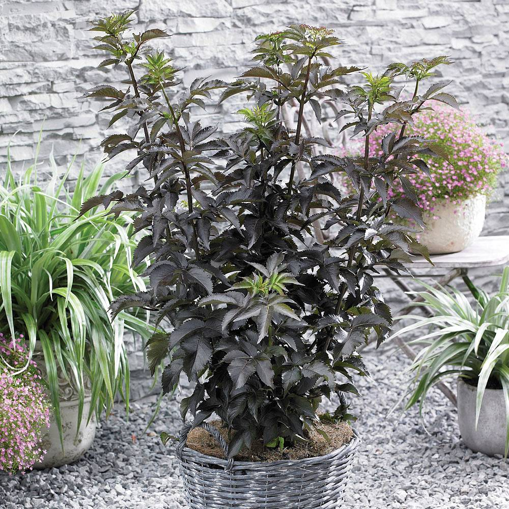 sambucus nigra f porphyrophylla 39 black tower 39 plants thompson morgan. Black Bedroom Furniture Sets. Home Design Ideas