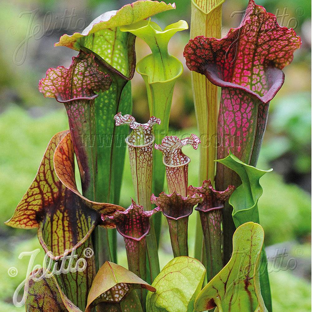 sarracenia species 39 new hybrids mixed 39 seeds thompson morgan. Black Bedroom Furniture Sets. Home Design Ideas