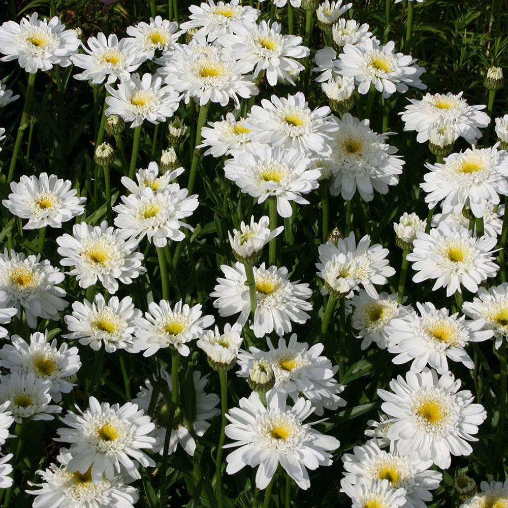 Shasta Daisy Fair Lady Plants Thompson Morgan
