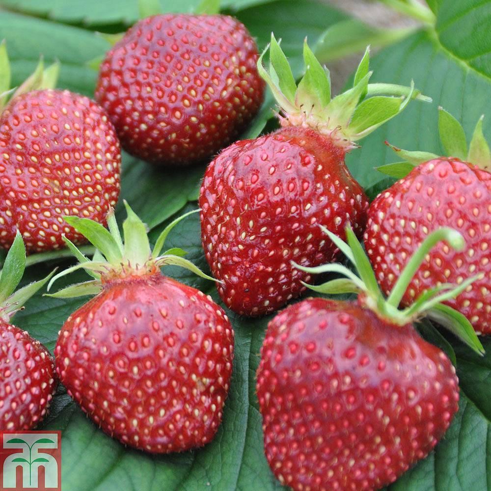 Strawberry Plants | Thompson & Morgan