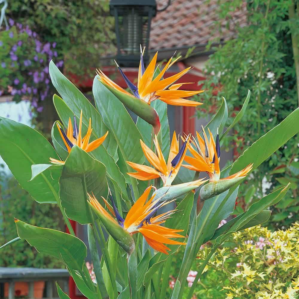strelitzia  u0026 39 bird of paradise u0026 39  plants