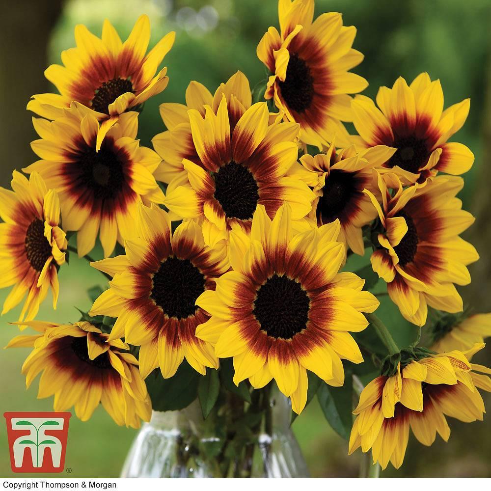 Sunflower Sunbelievable Brown Eyed Girl Thompson Morgan