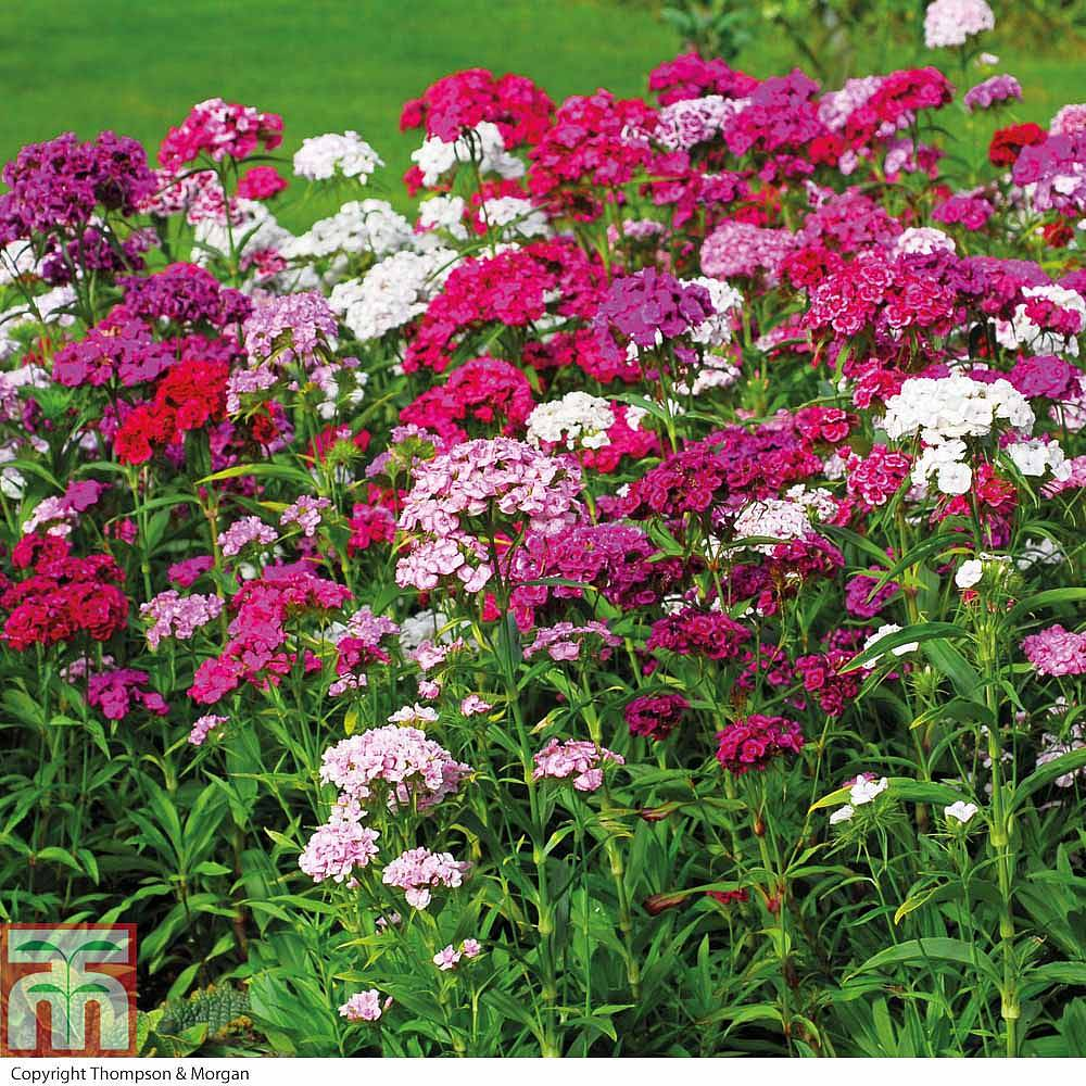 Sweet William Plant - Dash Magician - All Perennial Plants ... | Sweet William Plant