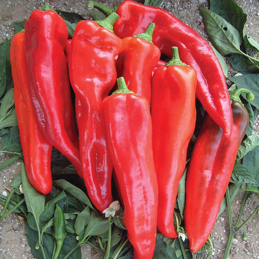 Chilli Pepper Spangles 6 Seeds