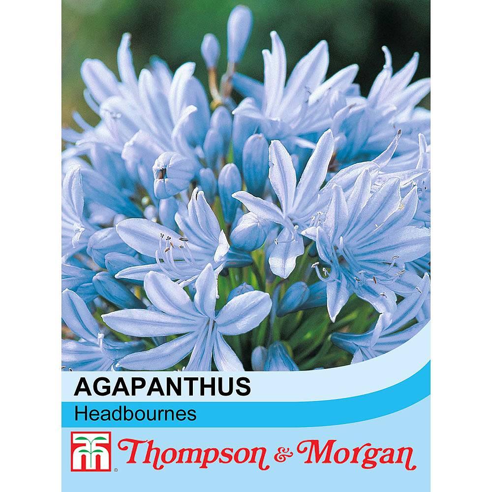 agapanthus 39 headbourne hybrids 39 seeds thompson morgan. Black Bedroom Furniture Sets. Home Design Ideas