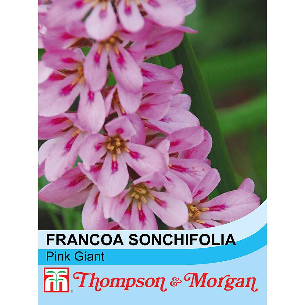 Francoa Sonchifolia Pink Giant Seeds Thompson Morgan