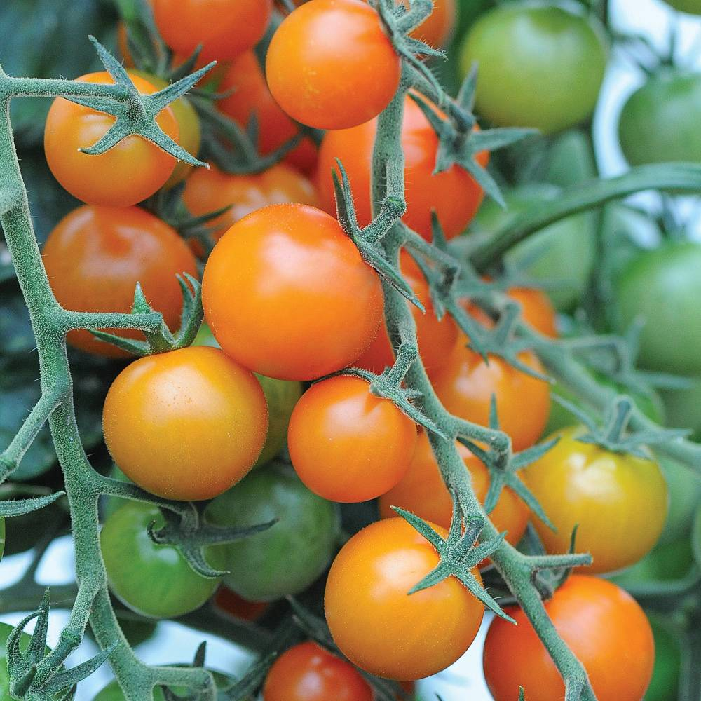 Juicy exotica on each bed - tomato Orange. Features, advantages, reviews