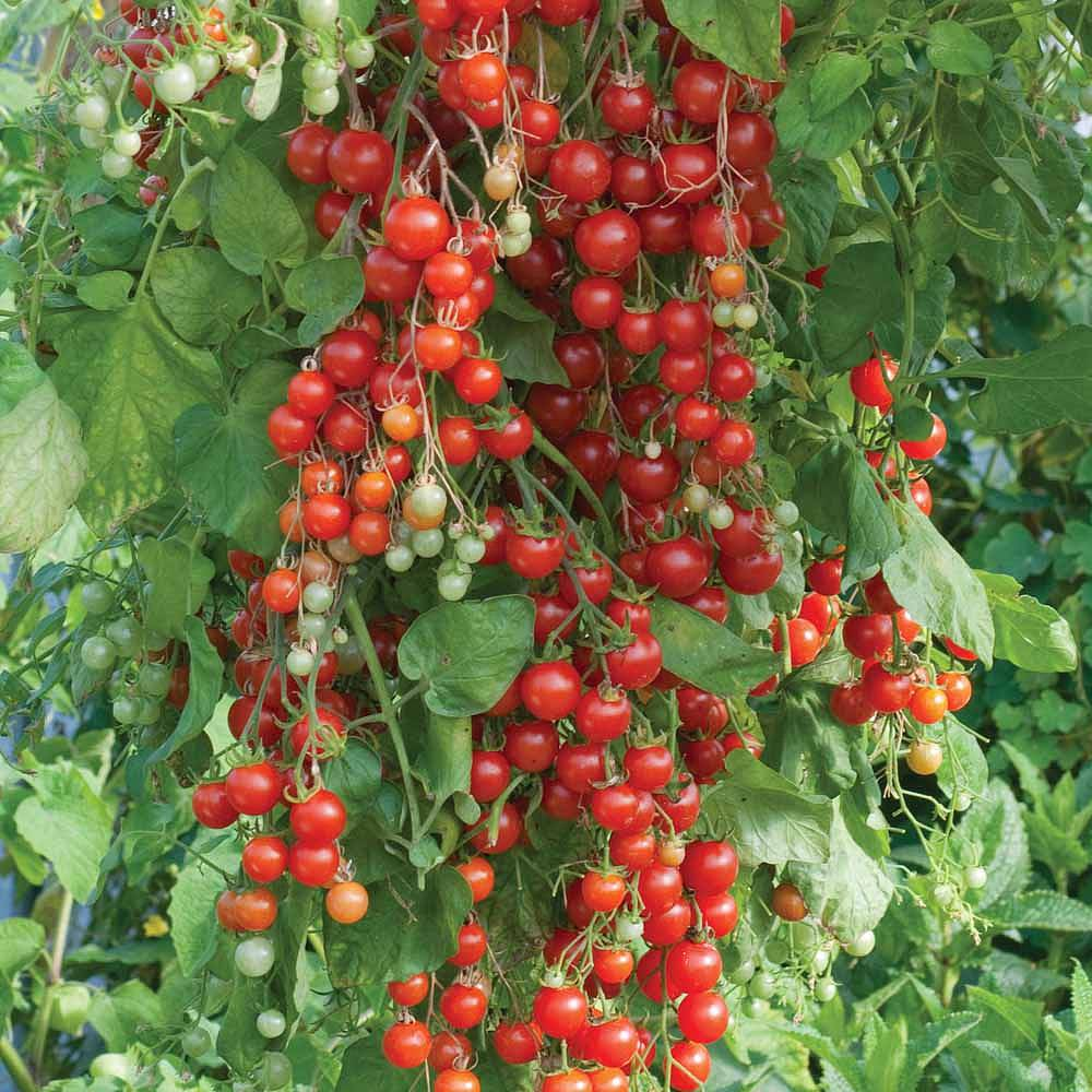 tomato 39 sweet million 39 f1 hybrid seeds thompson morgan. Black Bedroom Furniture Sets. Home Design Ideas