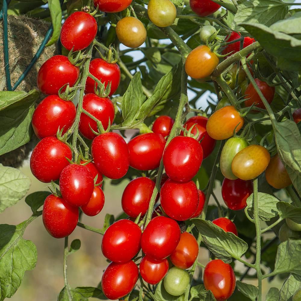 Tomato Romello F1 Hybrid Seeds Thompson Amp Morgan