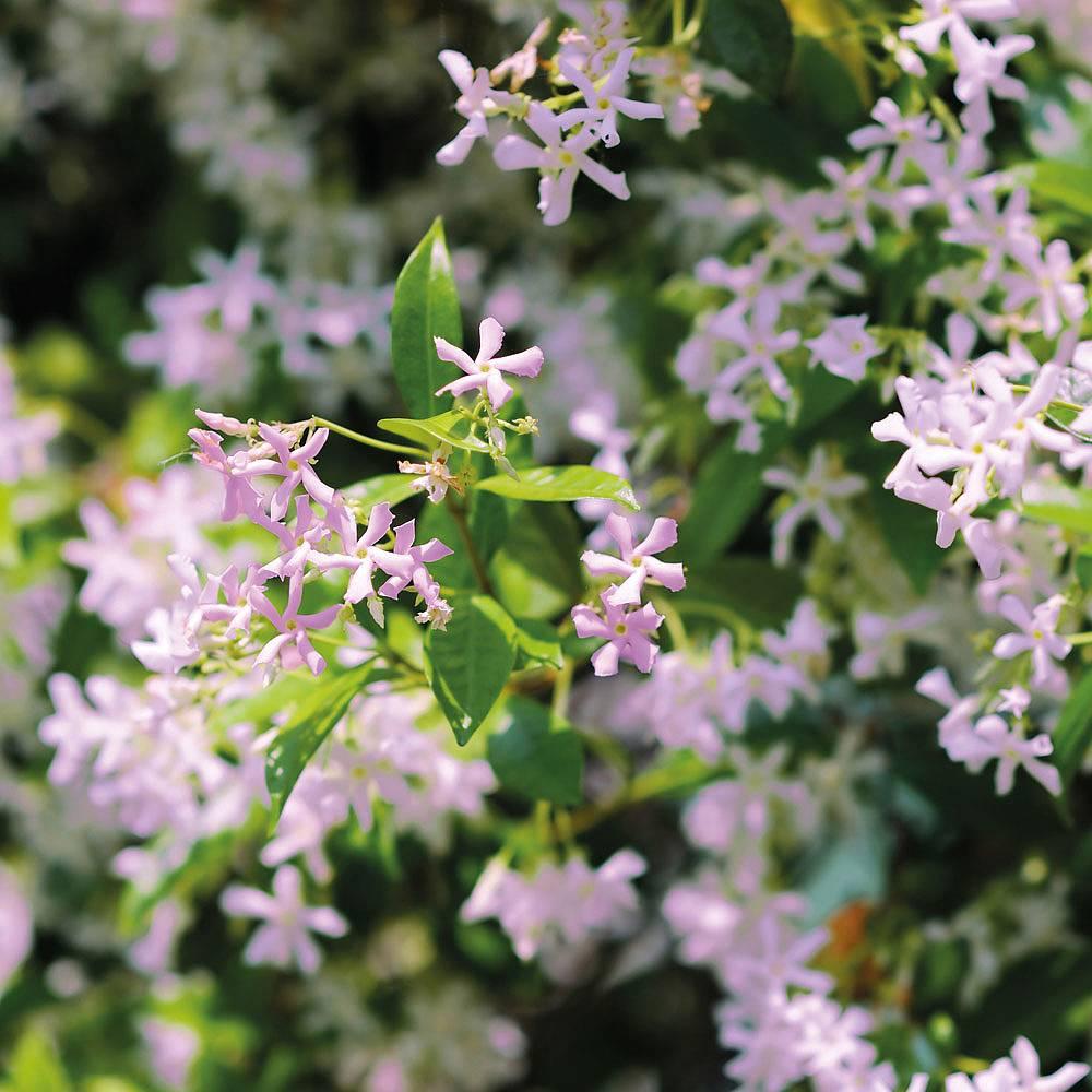Trachelospermum Pink Shower Plants Thompson Morgan