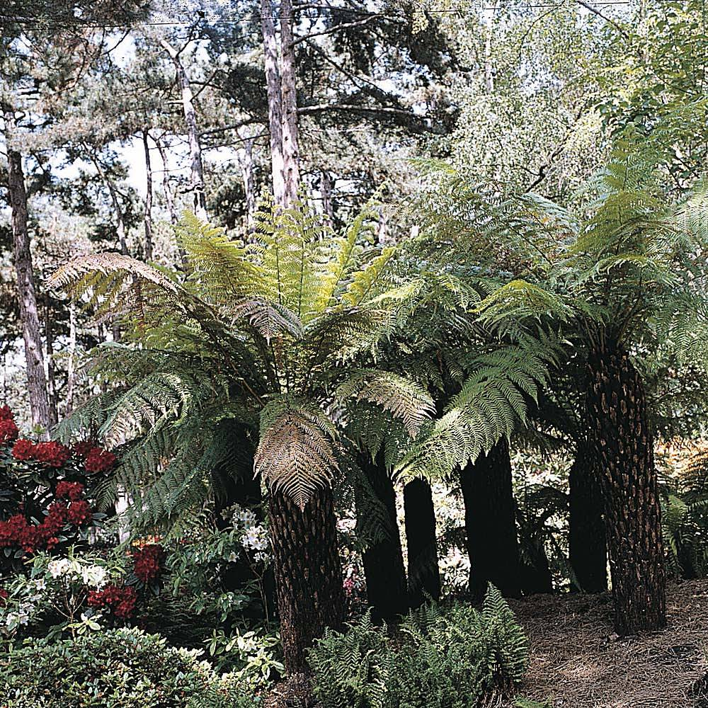 tree fern 39 house garden mixed 39 thompson morgan