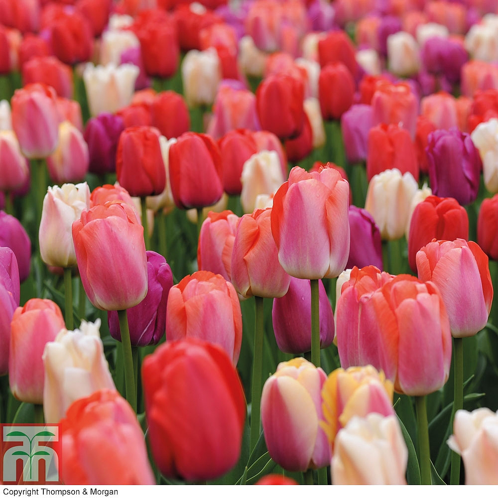 Tulip bulbs images galleries with a bite for Tulipe bulbe