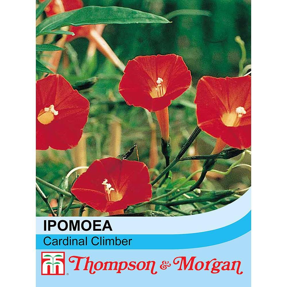ipomoea x sloteri 39 cardinal climber 39 seeds thompson morgan. Black Bedroom Furniture Sets. Home Design Ideas
