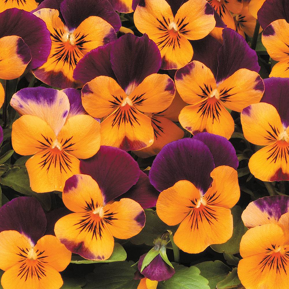 Winter flowering perennials thompson morgan mightylinksfo