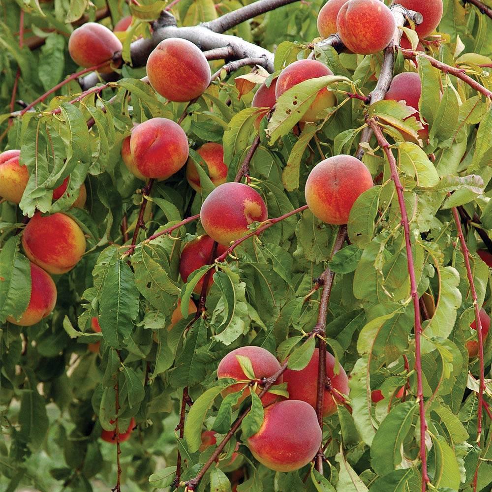 Peach 'Lacrima' (Weeping) | Thompson & Morgan