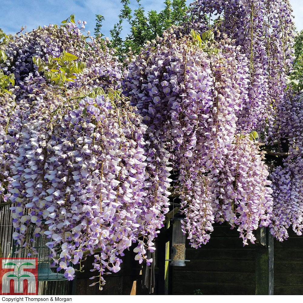 Wisteria Chinese: photos, descriptions, features of planting and care 58