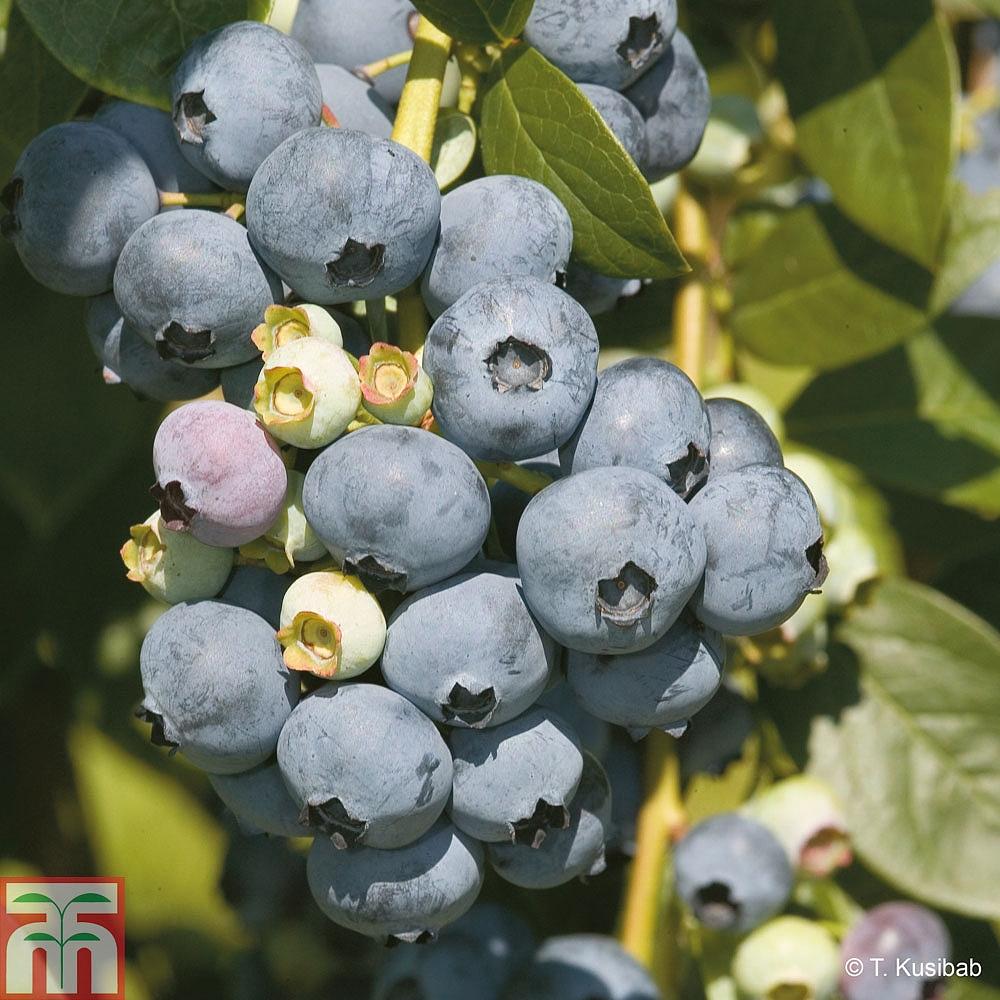 Blueberry Plants | Thompson & Morgan
