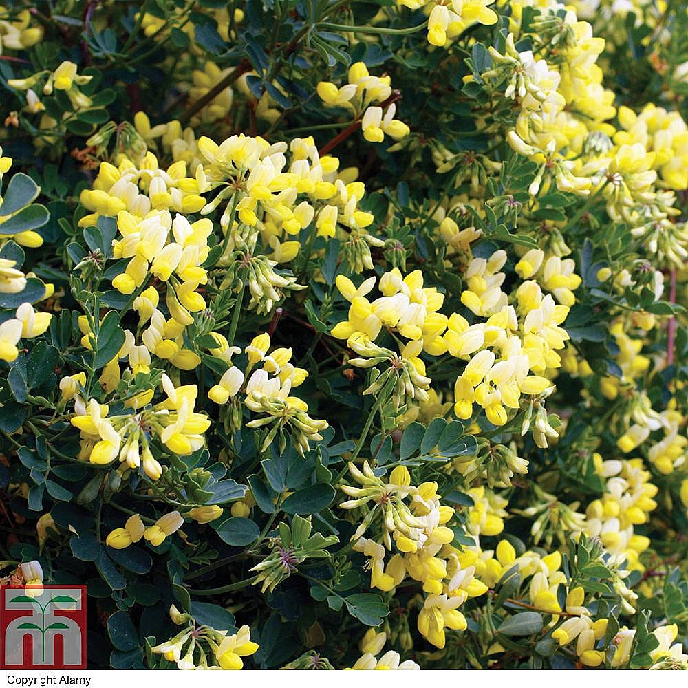 Winter flowering shrubs thompson morgan 54 reviews mightylinksfo
