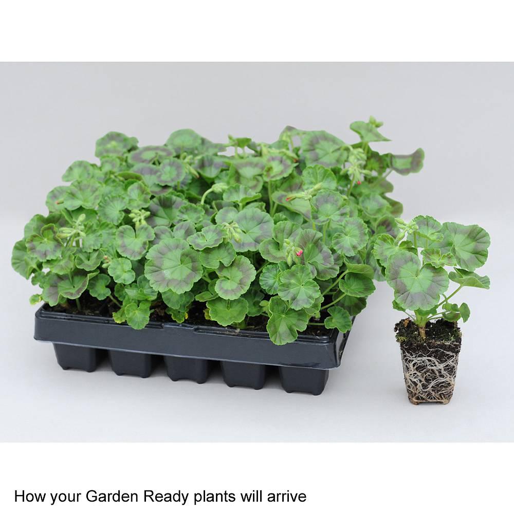 Geranium 'Jackpot Mixed' F1 Hybrid (Garden Ready