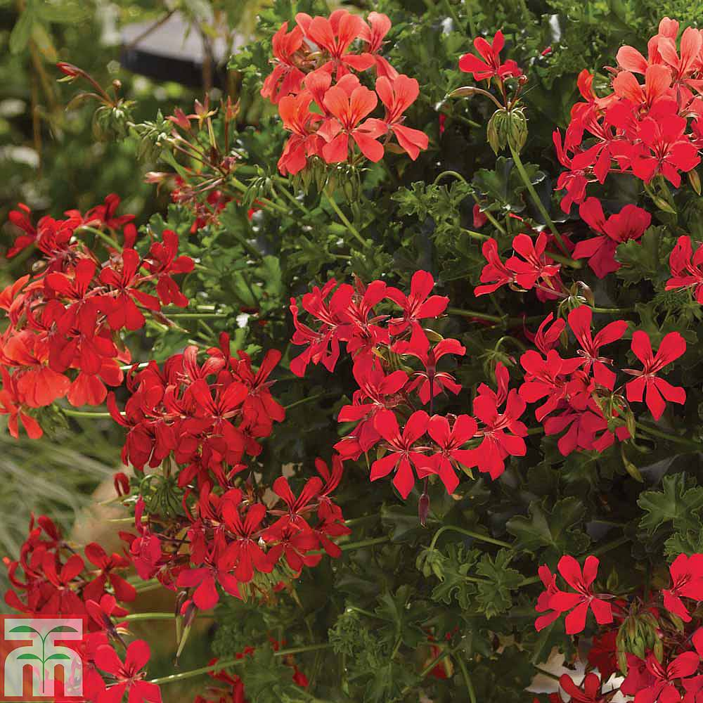 Geranium 'Decora Red' plug plants | Thompson & Morgan - photo #43