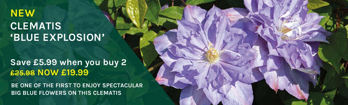 Clematis 'Blue Explosion' - SAVE £5.99