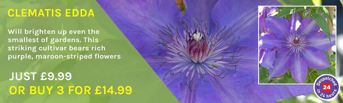 Clematis Edda - 3 for £14.99