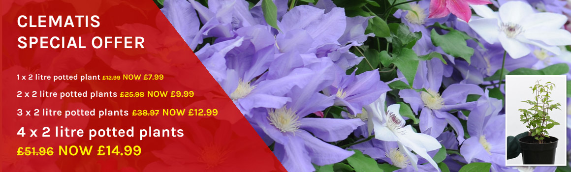 Clematis Special Offer