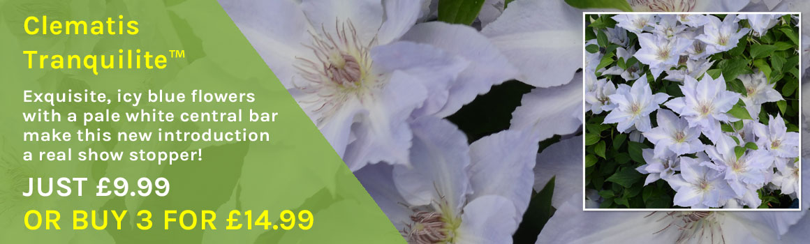 Clematis Tranquilite? - Buy 3 for £14.99