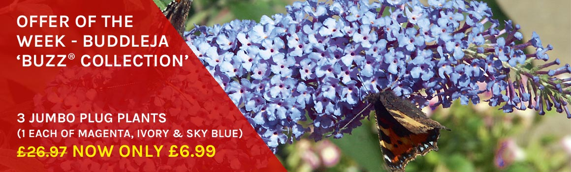 Buddleja 'Buzz® Collection ONLY £6.99