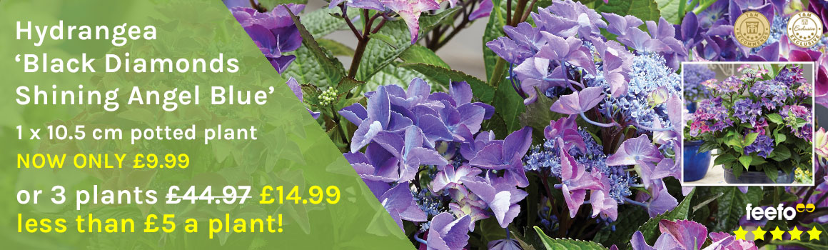 Hydrangea 'Black Diamonds Shining Angel Blue'