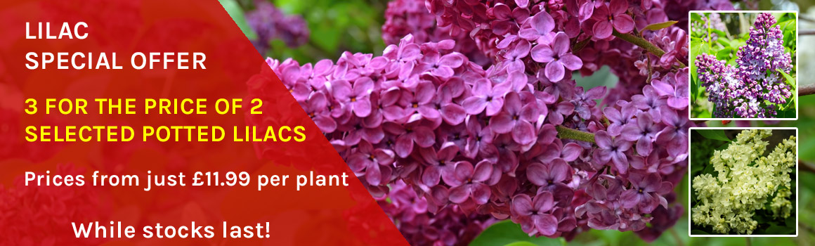 Selected Lilacs - 3 for the price of 2 while stocks last