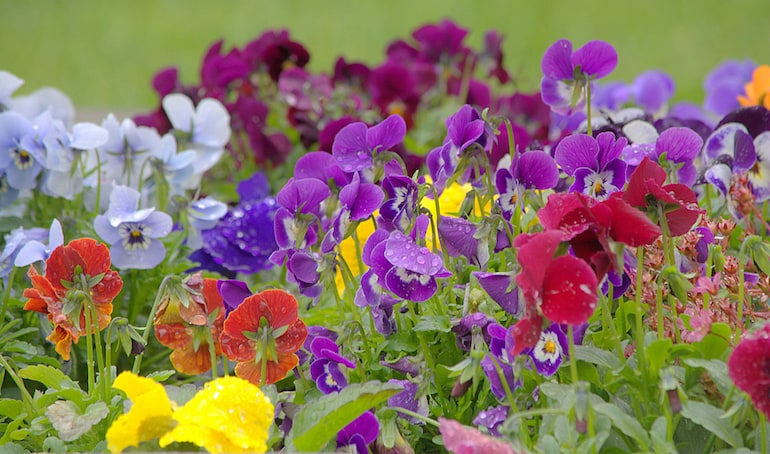 Colourful Winter Bedding Plants