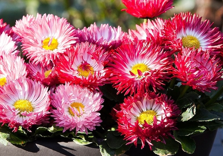 Pink Flowers With Yellow Centre Facing Sun