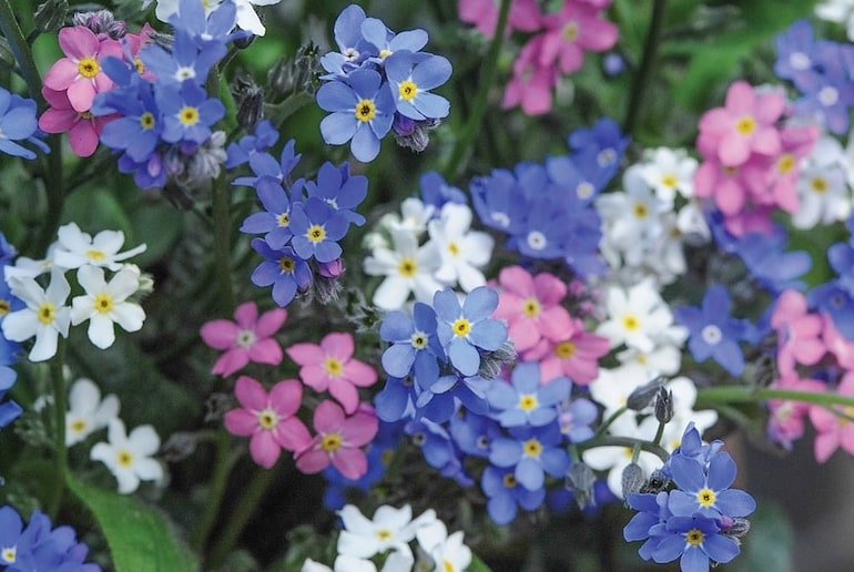 small coloured forget-me-nots