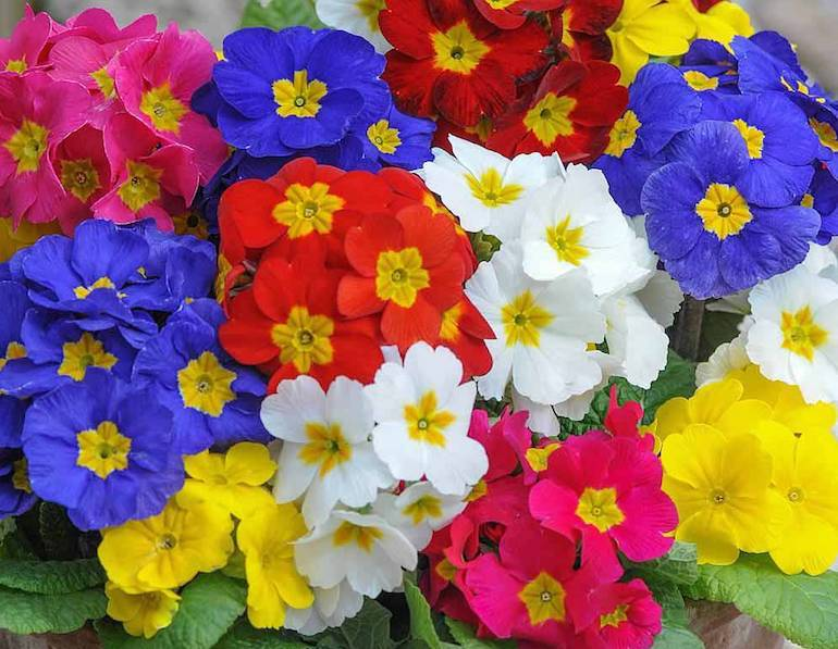 yellow, white, red and blue polyanthus