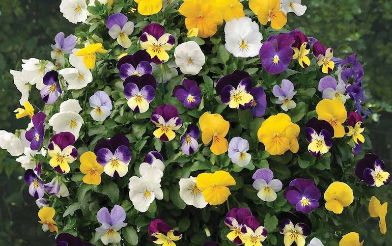 yellow and purple viola in a hanging basket